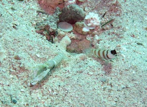 Steinitz'_Partner_Goby_with_Alpheus_Djeddensis